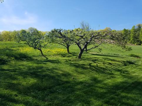 Apple trees in backyard