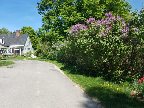 Purple Lilacs and tulips welcome guests to the inn