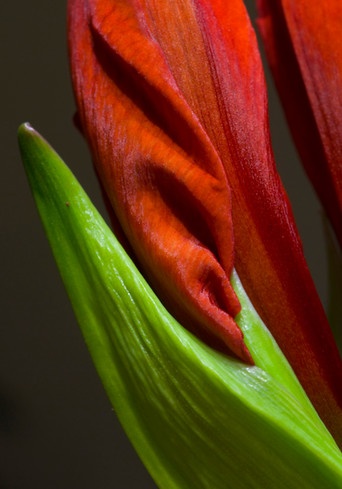 luscious amaryllis.jpg