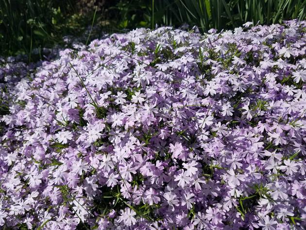 Puple phlox bloom in the flower gardens