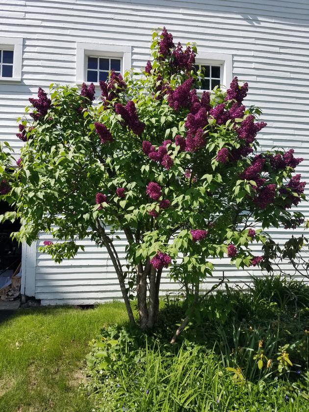 Purple Lilacs in full bloom