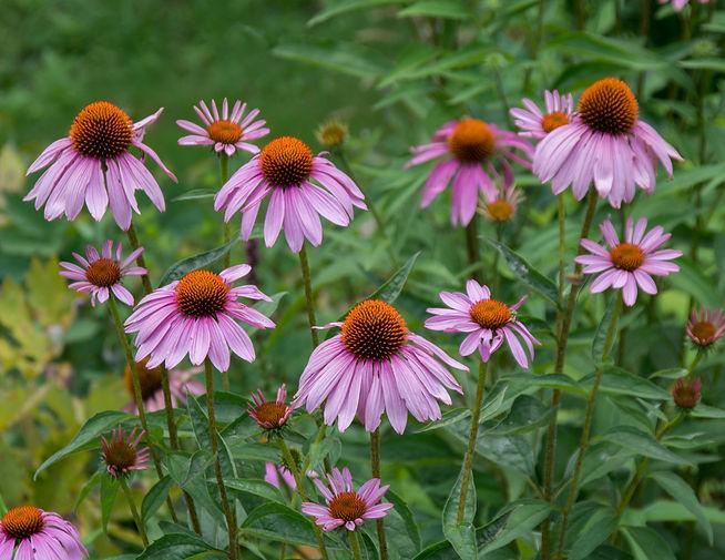 Cone Flowers No 2.jpg