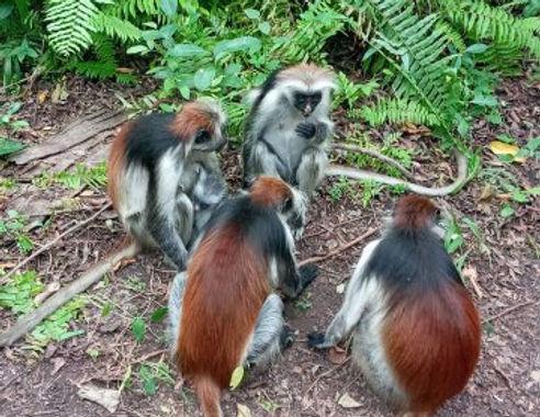 Jozani_Forest_Red_Colobus_Monkey.jpg