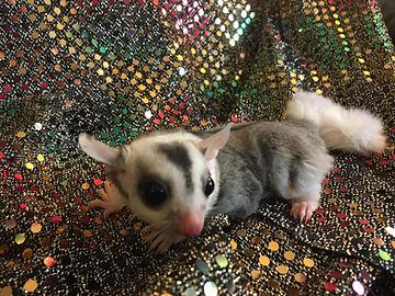 baby mosaic sugar glider