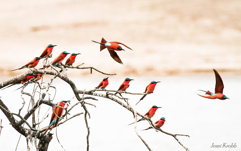 Southern Carmine Bee-Eaters, South Luangwa NP, Zambia