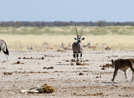 The Hunt: The Lion Pride, the Warthog and the Hornless Oryx