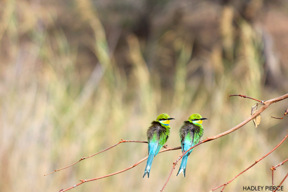 Swallow-tailed Bee-eaters, Marakele NP, South Africa