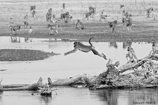 leaping-baboon.jpg
