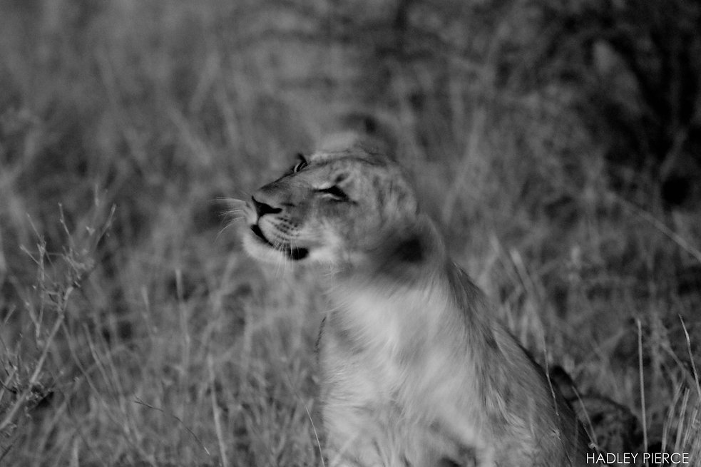Lion cub shaking head