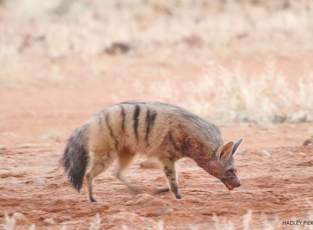 Sundowners with an Aardwolf!