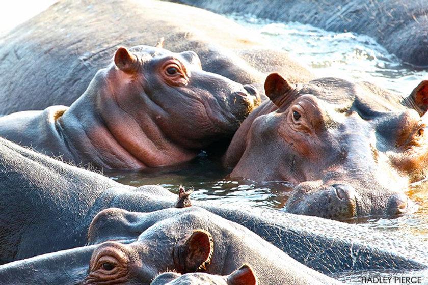 17-IBC-Hippos.jpg