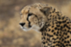 Cheetah mother in rain