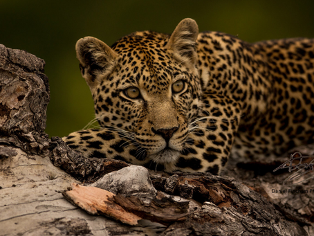 Insane Sabi Sands Sightings with Head Guide Dan Fincham