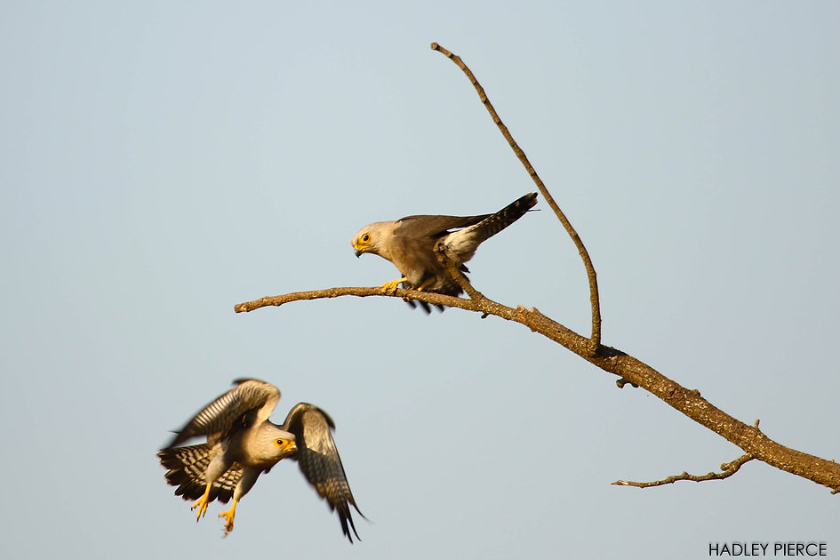Dickinson's Kestrels, Mosi-oa-Tunya NP, Zambia