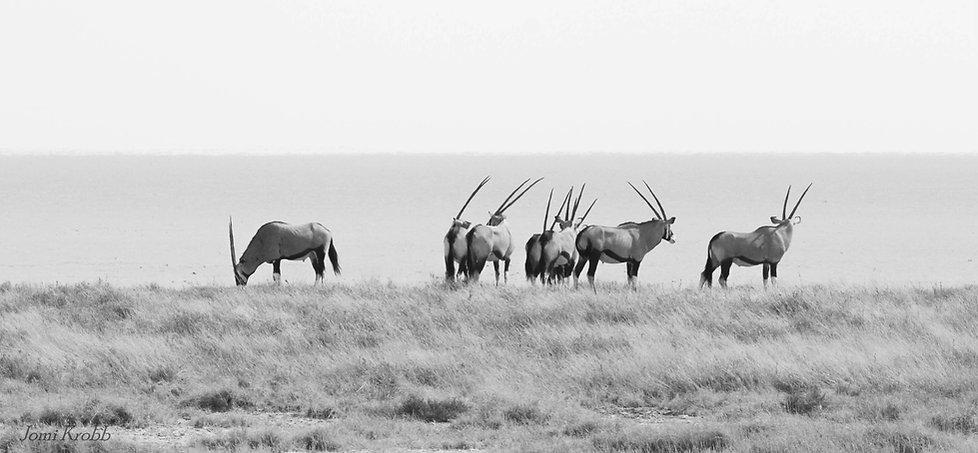 Oryx, Gemsbok in Etosha