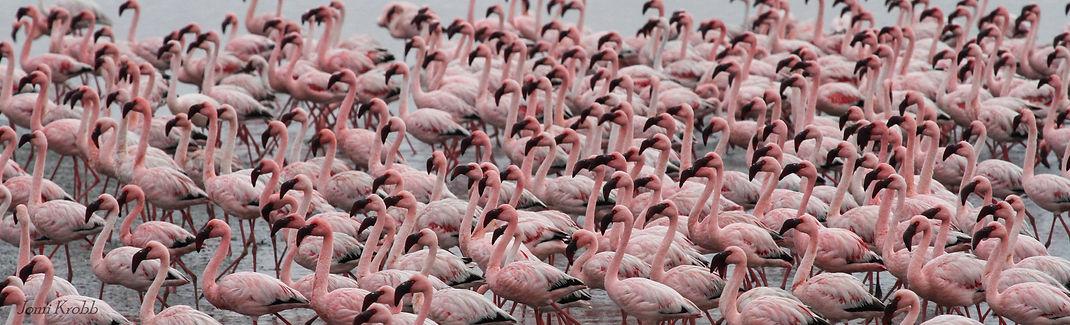 Lesser Flamingos in Walvis Bay