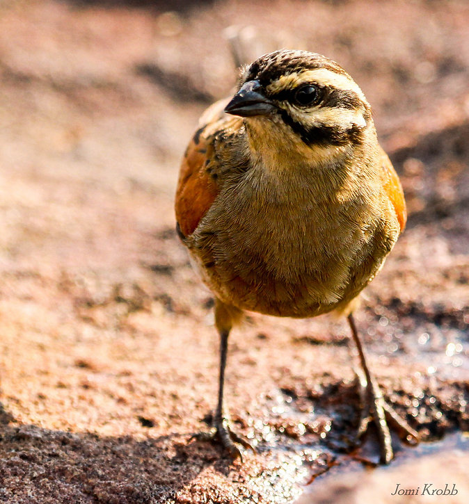 Cape Bunting, Marakele NP, South Africa