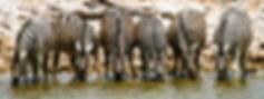 Zebras drinking at waterhole