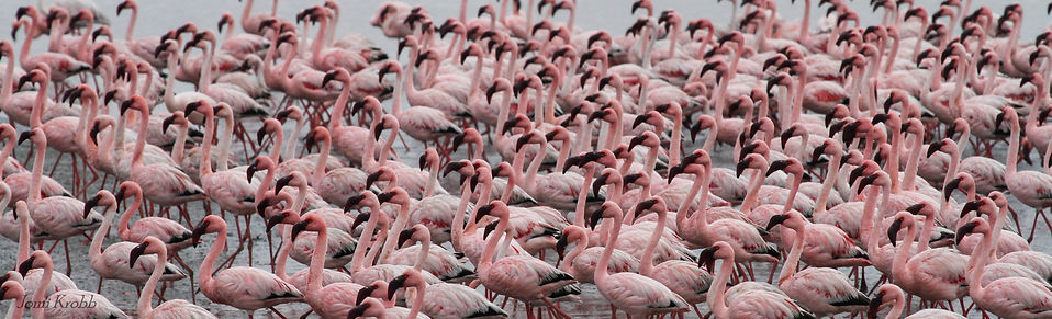 Lesser Flamingos, Walvis Bay, Namibia