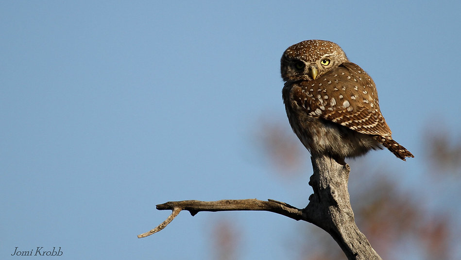 Pearl-spotted Owlet, Marakele NP, South Africa
