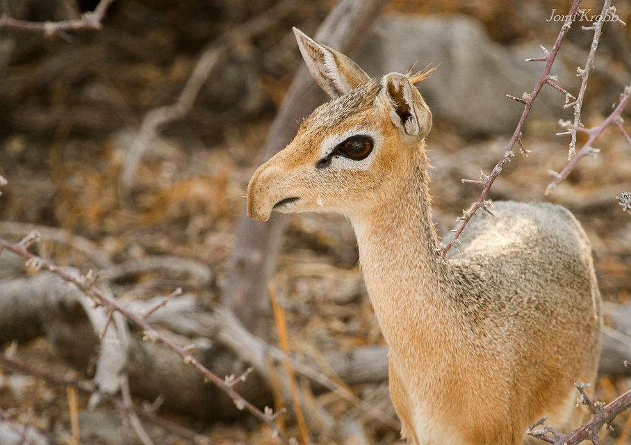 Damara Dik Dik antelope