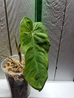 Philodendron Verrucosum type