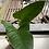 Thumbnail: Anthurium Insigne