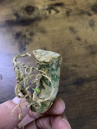 Anthurium Warocqueanum Chonk