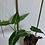 Thumbnail: Syngonium Rayii