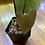 Thumbnail: Anthurium Esmeraldense