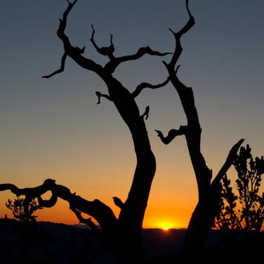 Bristlecone Sunrise