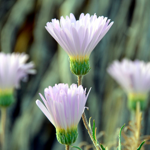 Mojave Aster - Detail
