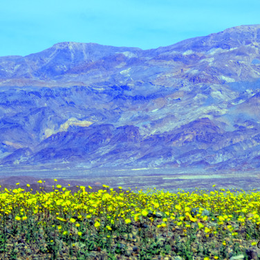 Death Valley Super Bloom