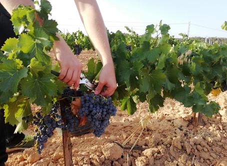 La Vendimia ya empieza en Sifer Wines