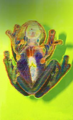 Glass Frog - rear