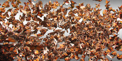 Migration n. 4 (Monarch Butterflies)