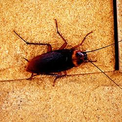 cockroach-sm