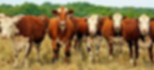 meet_cow_1.jpg
