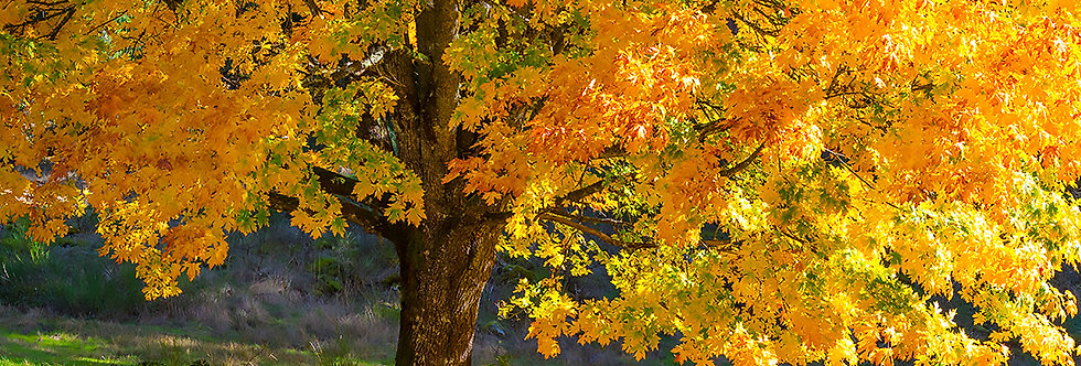 Maple tree in fall colours