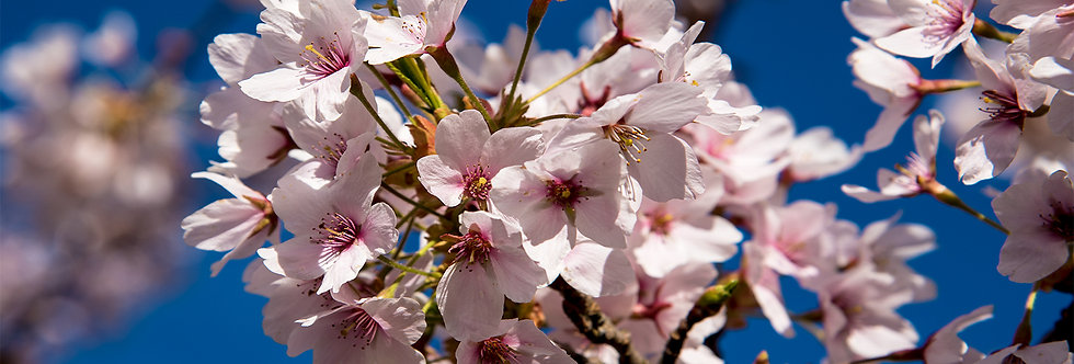 Pink Cherry Blossoms-Mother's Day