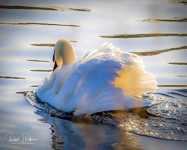 Swan 10X8.jpg