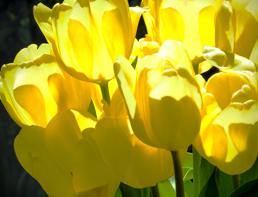 Yellow Tulips-Mother's Day