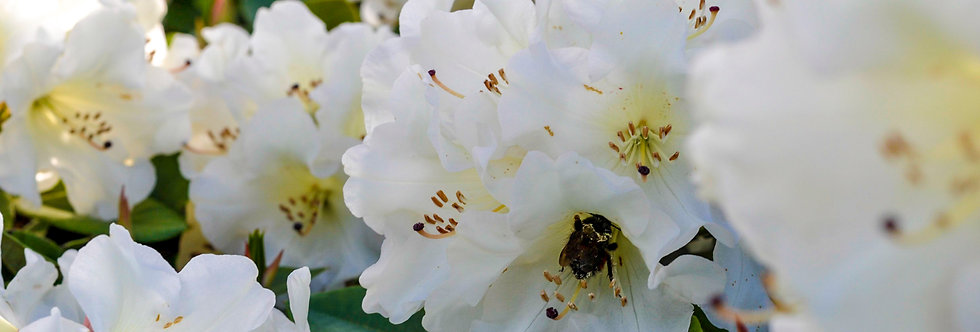 Bee in Rhododendron
