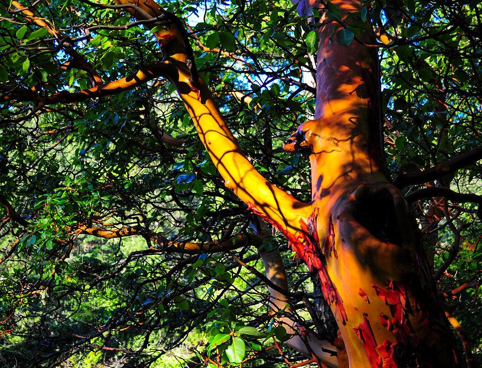 Arbutus Tree at lake