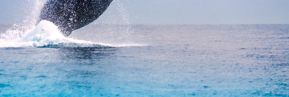 Breaching Whale Cabo