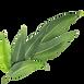 eucalyptus leaf.png