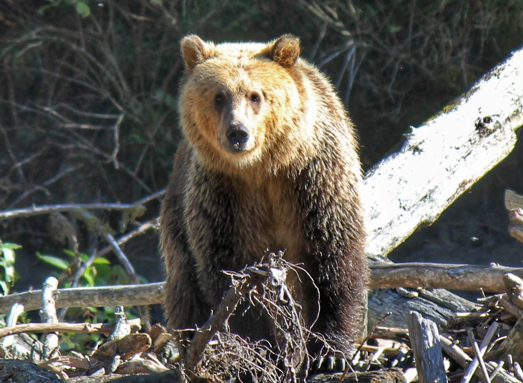 Grizzly Bears of Toba Inlet