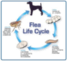 Fleas Life Cycle