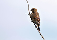 'Linnet' by Marty Coney