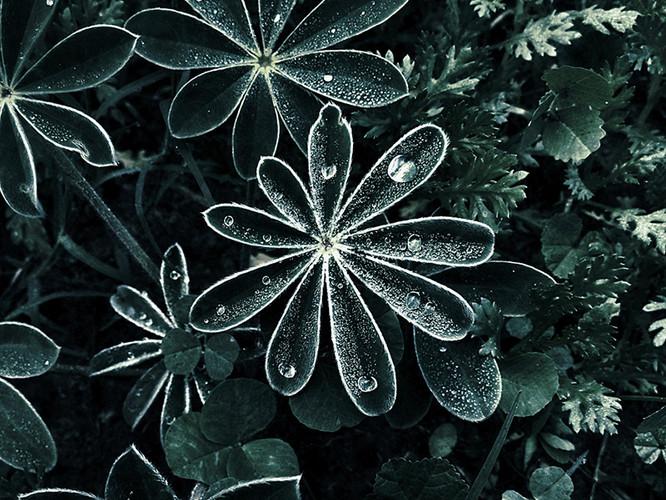 Dramatische Dew Drops